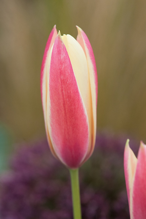 Tulipa clusiana 'Lady Jane'. A selection of Tulipa clusiana (the Lady Tulip) from Iraq, Iran and Afghanistan. The flower is rosy red with an ivory white petal margins. The interior is ivory with yellow at the base. The foliage grey-green. (Avon Bulbs)