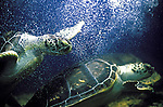 Animais. Reptis. Tartaruga marinha em aquário. SP. Foto de Juca Martins.