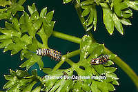 03009-01503 Black Swallowtail (Papilio polyxenes) caterpillar instars (3 different sizes) on Parsley, (Petroselinum crispum) Marion Co. IL