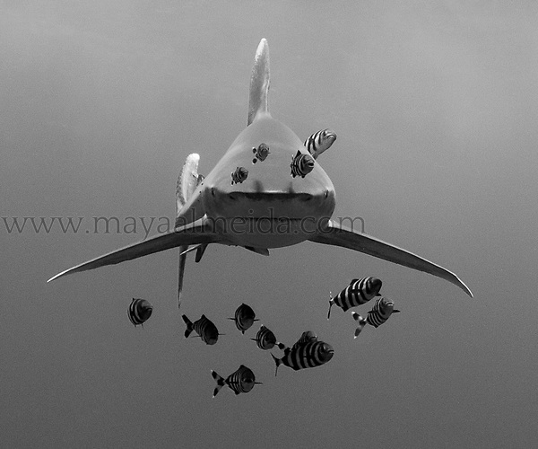 This shot was taken in the Southern Red Sea at Elphinstone Reef in August on the second dive of that day. The oceanic whitetip shark  (Carcharhinus longimanus) is found globally in deep, open water. .Their behaviour in this region has changed profoundly in the last years with locals commenting on the fact that he has become more aggressive,  probably as a result of the number of divers in the water. This shot has a special meaning to me as I had such I high fever that morning that I almost did not dive and decided to go in just because it was the last dive of the week prior to heading ashore. In the shot I was alone with a friend after an hour and a half in the water. Lukily we both still had air and the natural light was quite stunning. This bold and unpredictable individual came straight for me. I was unsure if, or when he would turn but my physical condition probably helped me keep calm, still and looking straight at him with my syperdome to sheild me..!. I knew on this dive we would be in the water with oceanics and did not want to take a strobe as I felt that this would invade the intimacy of the encounter and frankly the pristine natural light was incredible. I was overwhelmed and humbled by the encounter which left me wanting more.. A truly majestic animal.