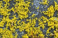 Hopfendrüsen, Hopfendrüse, Hopfenharz, Harz, Harze, Hopfenhasch, Hopfenhaschisch, Lupulin, Hopfenzapfen, Hopfenernte. Hopfen, Gewöhnlicher Hopfen, Echter Hopfen, Humulus lupulus, Common Hop, Hop, hops, Le Houblon, Le houblon grimpant