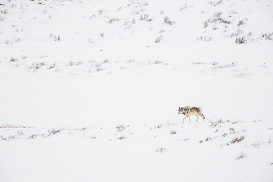 A gray wolf walks among the snow covered grass in Yellowstone National Park during a light snowfall.