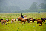Herding cattle to new pasture, Pasagshak Ranch, Kodiak Island, southwest Alaska