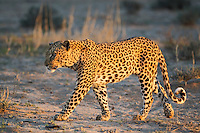 Male leopard walking in golden light