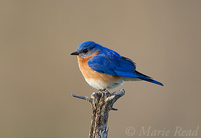Eastern Bluebird (Sialis sialis) male, in spring, New York, USA