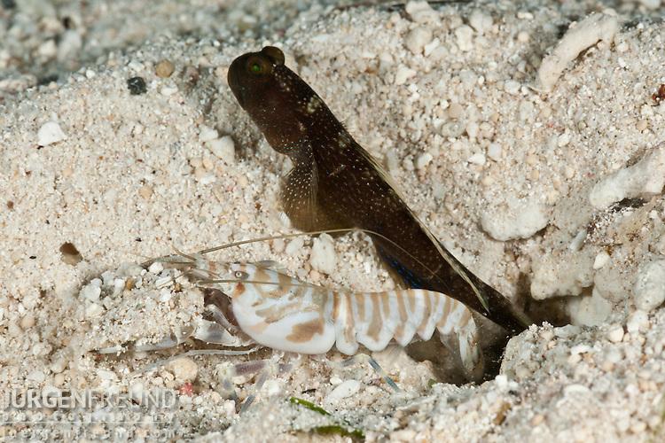 Banded shrimpgoby (Cryptocentrus cinctus) dark variation with tiger pistol or snapping shrimp (Alpheus sp.)