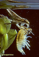 WS11-001b   Giant Waterbug nymph consuming freshwater amphipod -  Belostoma flumineum