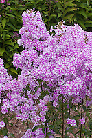 Phlox maculata 'Natascha' (42), pink and white bicolored garden phlox with fragrant flowers,perennial plant, in bloom