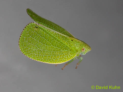 1109-0801  Midair Jumping/Flying Conica Planthopper, Acanalonia conica © David Kuhn/Dwight Kuhn Photography
