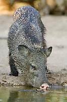 650520090 Javelina Dicolytes tajacu WILD.Boar drinking at pond.Rio Grande Valley, Texas