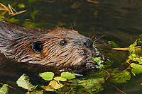 Beaver (Castor canadensis) chewing cottonwood twigs,  autumn, Nova Scotia, Canada.