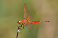 389110009 a wild male needhams skimmer dragonfly libellua needhami  perches on a stick over pintail ponds at santa ana national wildlife refuge in the rio grande valley in south texas