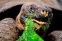 giant tortoise, Geochelone elephantopus (c), Santa Cruz Island, Galapagos, Ecuador (Pacific Ocean)