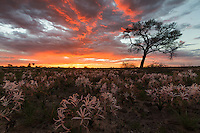A fiery summer sunset scene in a Kalahari Pan strewn with flowering wild Vlei Lilies.