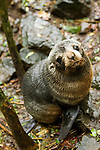 New Zealand Fur Seal (Arctocephalus forsteri) pup in forest where it is safe from predators, Kaikoura, South Island, New Zealand