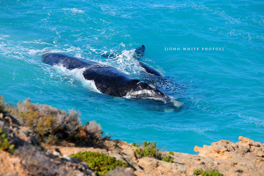 Southern Right Whale and calf at the cliffs of the Nullarbor Australia.