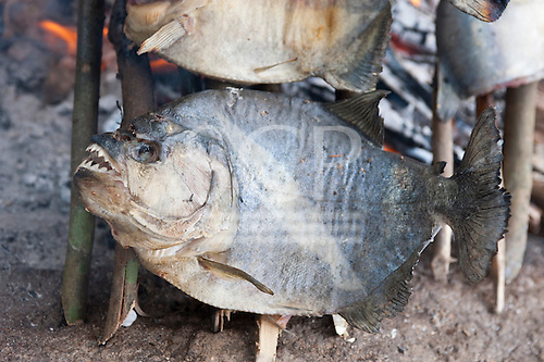 Aldeia Baú, Para State, Brazil. Piranha fish cooking on an open fire.