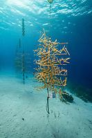 Staghorn coral restoration project. Staghorn coral, Acropora cervicornis, Bonaire, Netherland Antilles, Netherlands, Caribbean Sea, Atlantic Ocean