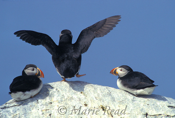Atlantic Puffins (Fratercula arctica), two watch as another seems to be dancing while it prepares to take flight, MachiasSeal Island, NB/ME, USA/Canada<br /> Slide # B62-100