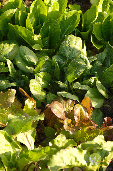Spinach and red leaf lettuce.