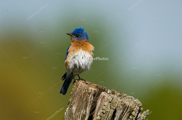 Eastern Bluebird, Sialia sialis, male on fencepost
