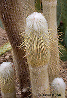 1202-0819  Peruvian Old Man Cactus, Detail of Column and Spines, Espostoa lanata  © David Kuhn/Dwight Kuhn Photography