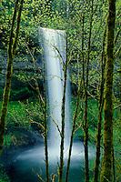 Big-leaf maples<br /> South Falls<br /> Silver Falls State Park<br /> Cascade Range,  Oregon
