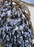Common Goose Barnacle - Lepas anatifera