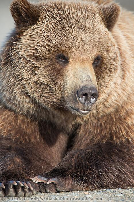 Grizzly bear portrait, Denali National Park, Alaska.