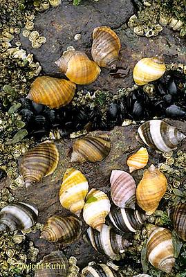1Y38-008f  Dogwinkle - Atlantic coast - Nucella lapillus