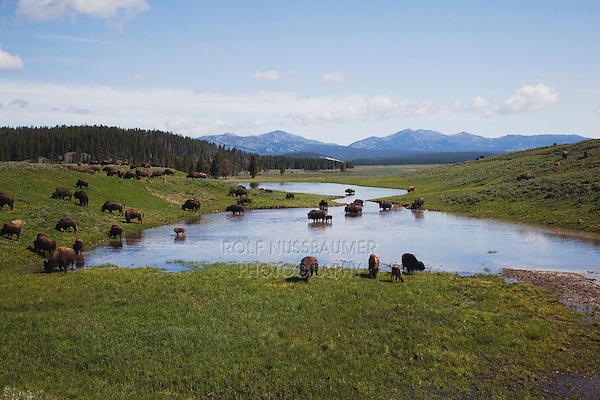 American Bison, Buffalo (Bison bison), herd, Yellowstone NP,Wyoming, USA