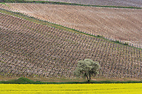 Europe/France/Bourgogne/89/Yonne/Env de Chablis/Beine : le vignoble AOC Chablis au printemps et champ de colza