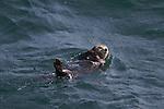 les loutres de mer se rencontrents dans le pacifique nord, elles divisées en 3 sous-espèces : la loutre de l'Alaska (et des îles Aléoutiennes avec environ 85 000 individus), la loutre asiatique (3 000 individus aux îles du Commandeur et population inconnue dans les îles Kouriles) et la loutre de Californie (2 700 individus). De nos jours, la population totale serait donc d'au moins 90 000 animaux, etl'espèce a frôlé l'extinction?