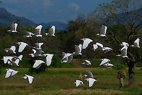 Egrets in farmland near Kandy, Sri Lanka