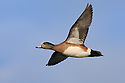 00318-006.14 American Wigeon Duck (DIGITAL) drake in flight against a blue sky.  Fly, action, baldpate, hunt, waterfowl, wetlands.  H6L1