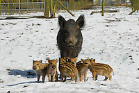 Wild Boar sow with piglets in the snow.
