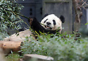 Giant pandas at Ueno zoological gardens in Tokyo
