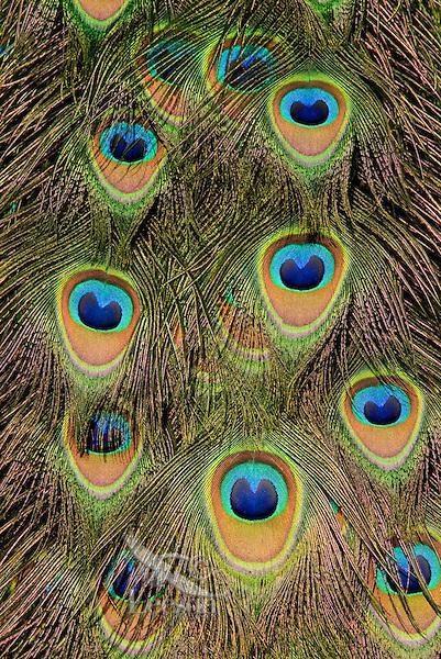 Peacock feathers.(Woodland Park Zoo, Seattle WA)