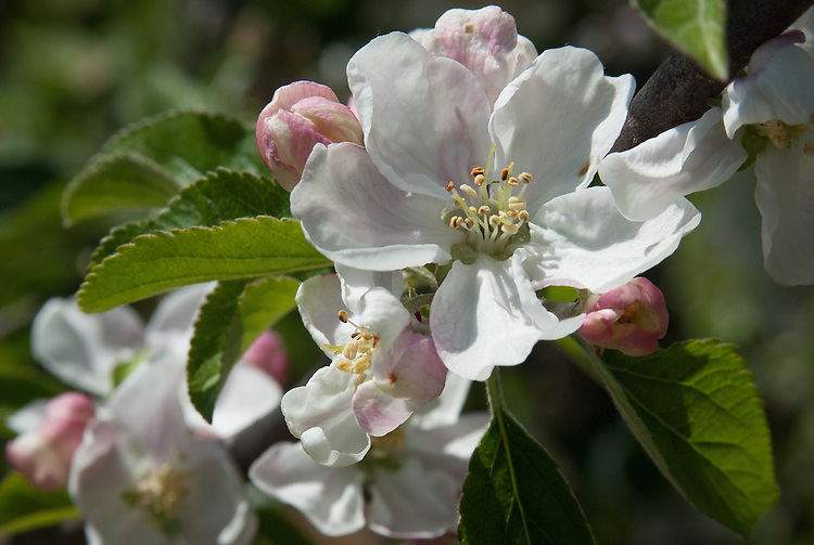 Blossom of cider apple 'Le Bret', early May. A sweet variety discovered in the 1950s in the garden of Mrs Le Bret, St Annes Park, Bristol.