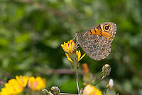 Mauerfuchs, Weibchen, Lasiommata megera, Wall Brown, Wall Brown Butterfly, female