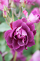 Rosa Burgundy Ice ('Prose'), early June. A Floribunda rose that has deep plum-coloured flowers with a velvety texture and a light, sweet scent. Bred from 'Iceberg' by  Weatherly, 2003.