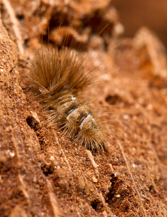 Cobweb Beetle larva - Ctesias serrais. Protected by its long hairs against the spiders whose cobwebs it frequents looking for the dry remains of insects left by the spiders. It is a relative of the well known Woolly Bear Carpet Beetle larvae.