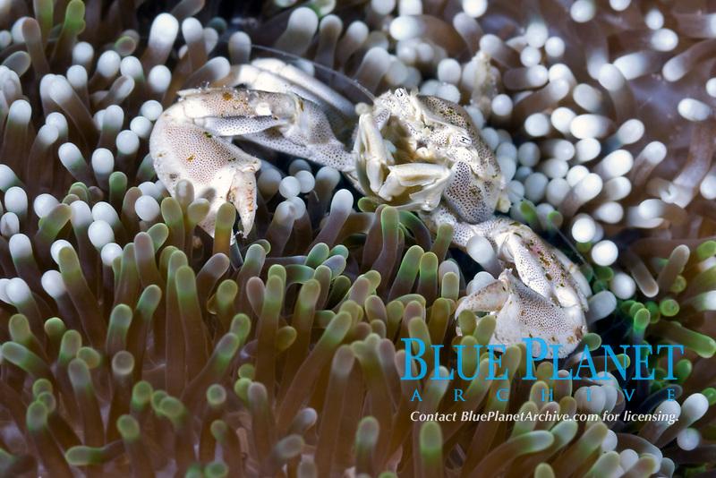 Porcelain crab, Neopetrolisthes maculatus, Solomon Islands, Pacific Ocean