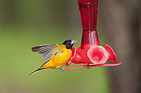 Northern Oriole (Icterus galbula) male in breeding plumage drinks from backyard hummingbird feeder.  Lake Erie.
