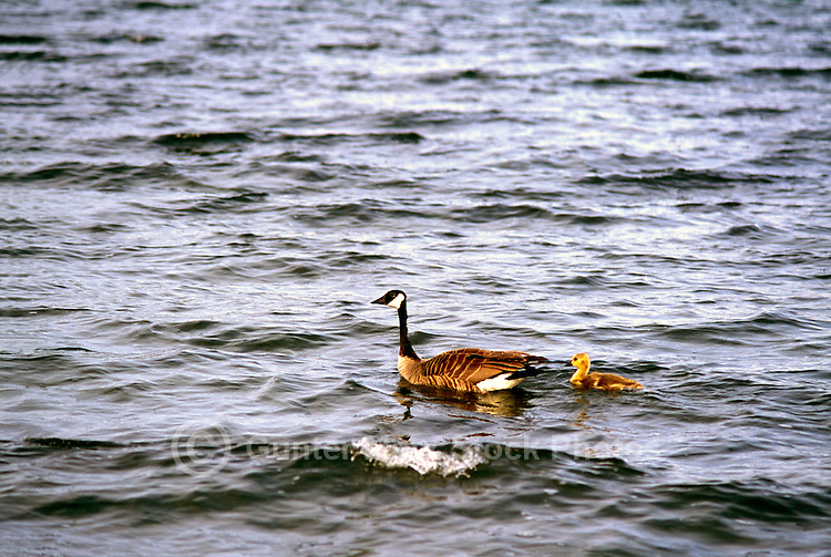 Canada Geese (Branta canadensis) - Canada Goose Parent Bird swimming with Young Gosling
