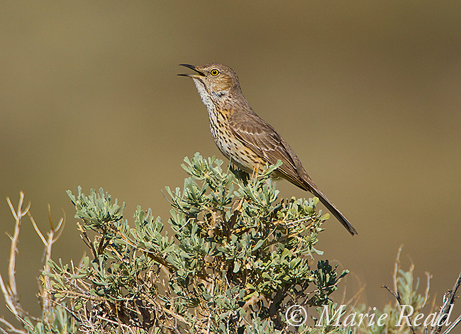 Sage Thrasher (Oreoscoptes montanus), perched in sagebrush, singing in spring, <br />