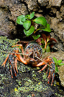 414490013 a wild pocambarus species of crayfish sits in aquatic plants in a small pond on a ranch in south texas