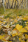 Aspen and cottonwood leaves blanket a forest floor, fall, Inyo National Forest, California
