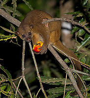 My best night time view of a kinkajou.  This one was feeding on mangoes.