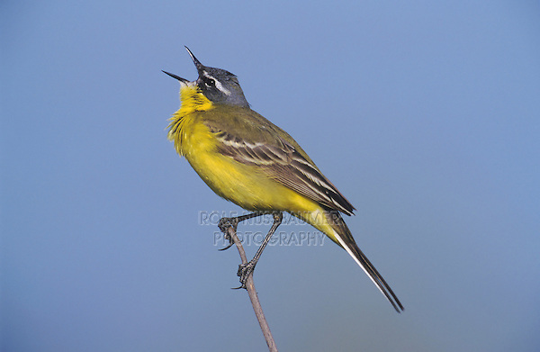 Yellow Wagtail (Motacilla flava), male singing, Austria